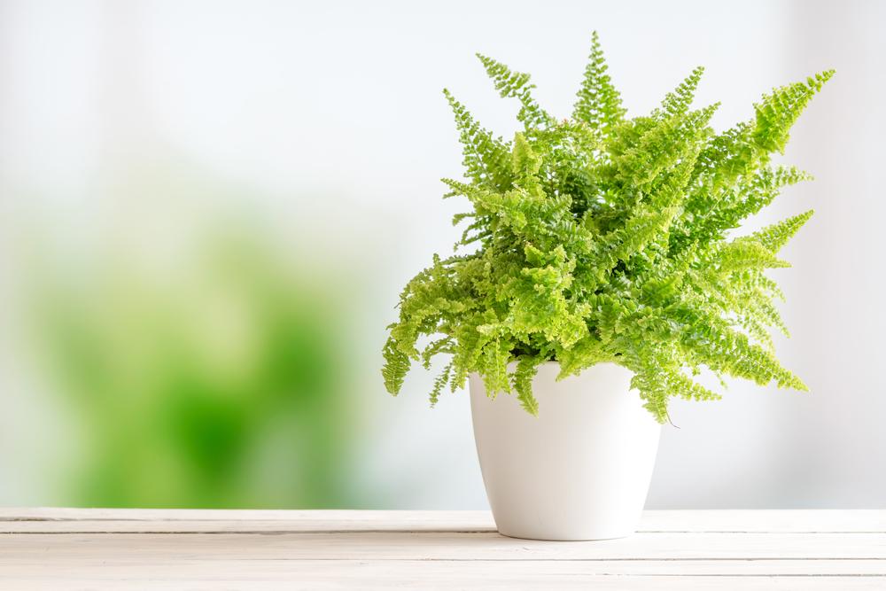 farn als zimmerpflanze