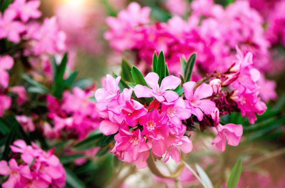 oleander krankheiten
