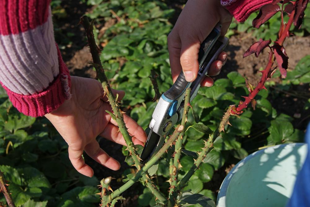 gärtner schneidet rose