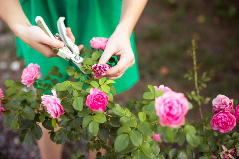 Rosen pinzieren