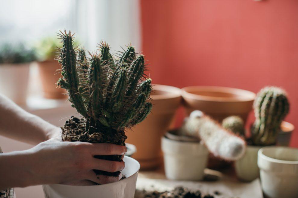 abgebrochener kaktus