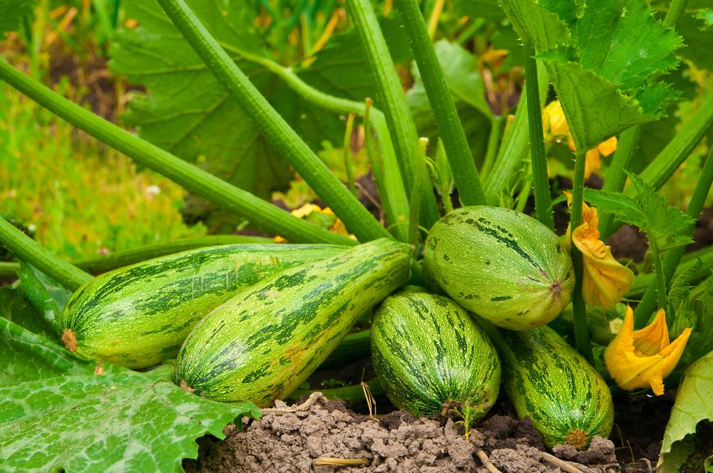 Zucchini neben kürbis